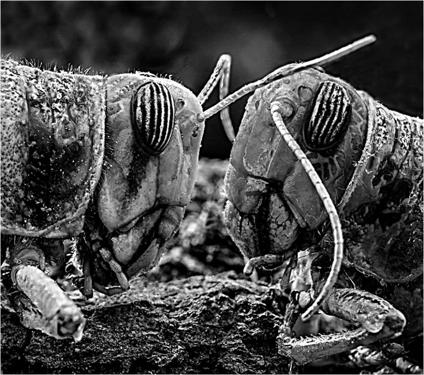 Locust face off_Mal_adv