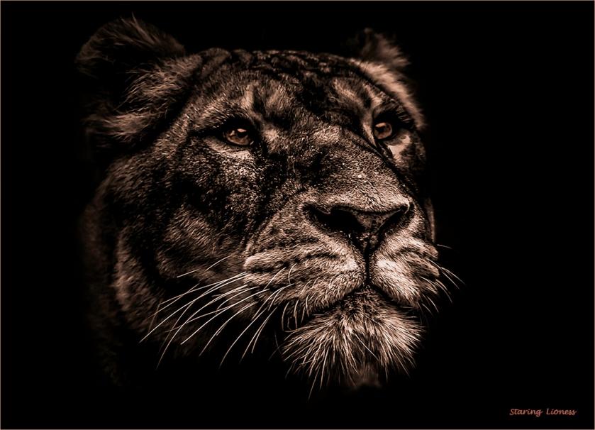 staring-lioness_mal_adv